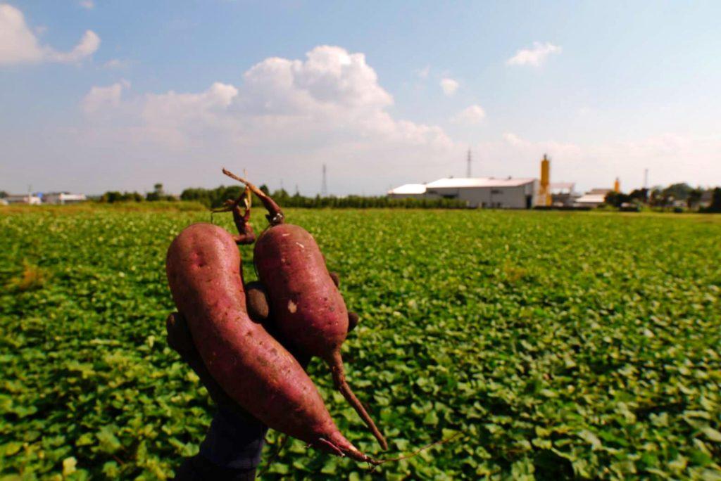 鹿児島 サツマイモ